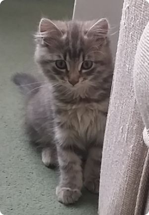 Icarus, the beautiful long haired silver - brown tabby kitten, 15 weeks 3 days old